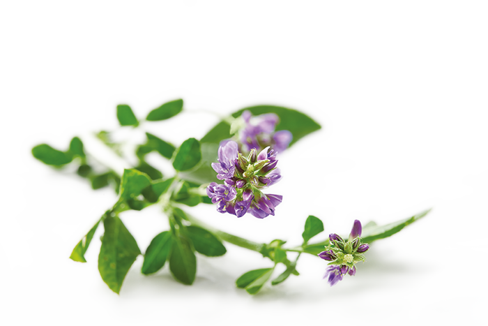 "Alfalfa  also known as Lucerne or Medicago sativa, is a plant that has been grown as feed for livestock, as a supplement for humans and  as a growth promoter for plants for hundreds of years. It is long prized for its superior content of vitamins, minerals and protein, compared to other feed sources. Alfalfa is a rich source of plant growth hormone ""Triacontanol"""