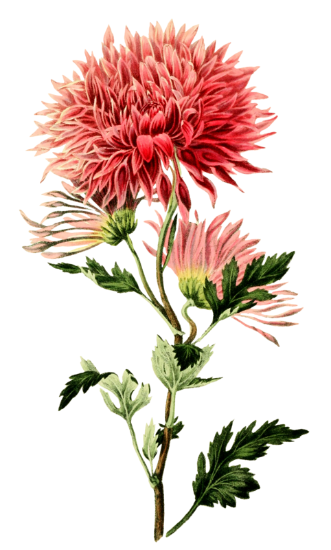 Chrysanthemum or sevanti