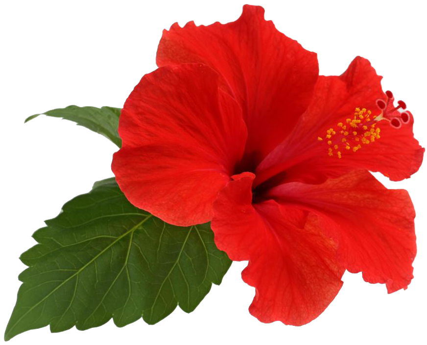 Hibiscus Plant loves Potassium rich fertilizer. and benefit from application of Banana peels