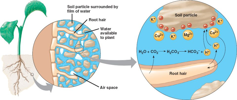 Diagram depicting interaction between root hairs and soil particles, this is where CEC comes into play.